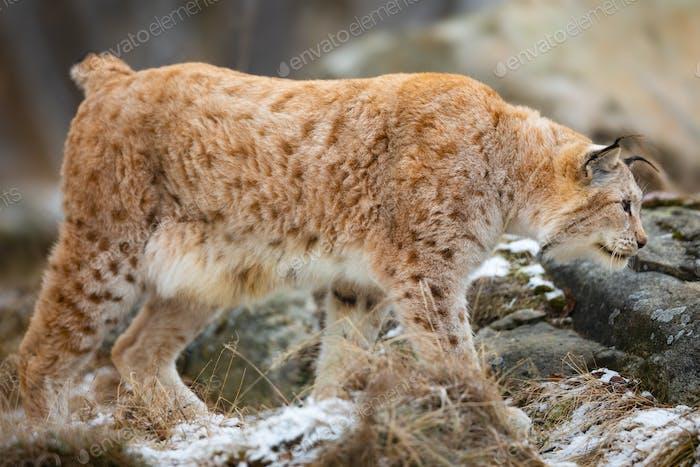 Large eurasian lynx walks in cold winter landscape