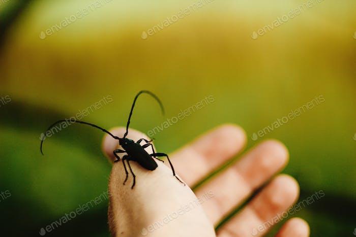 schöne große Monochamus auf Menschen Hand Finger in sonniger Frühlingswiese, Umwelt schützen