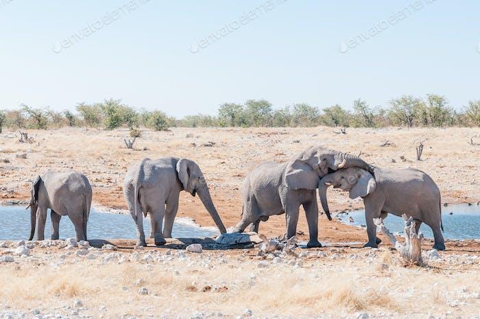 Social interaction between two African elephants
