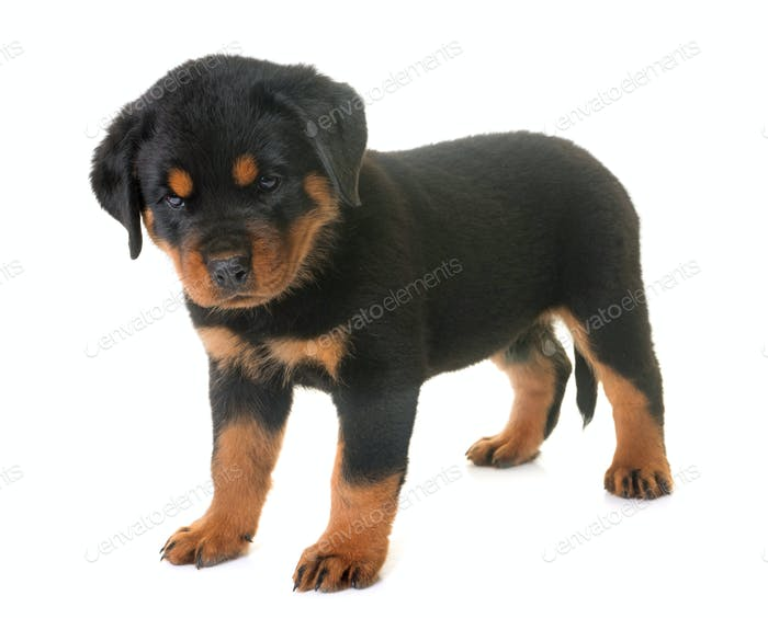 puppy rottweiler in studio