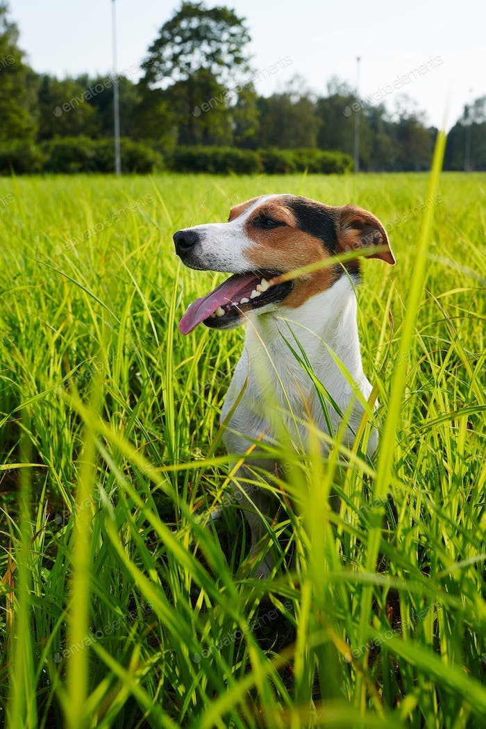 Adorable dog heavily breathing on grass