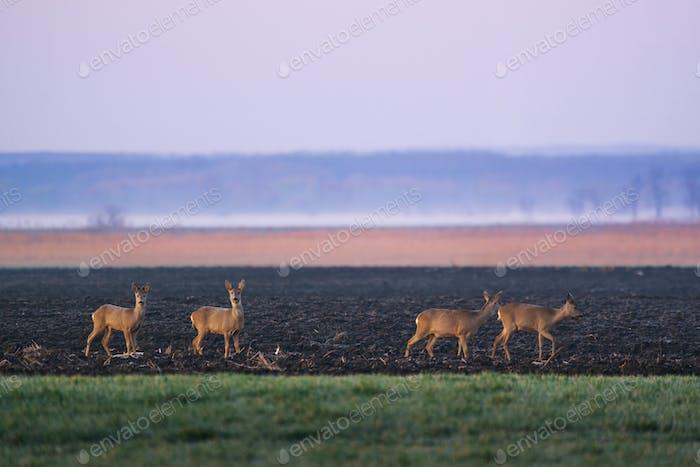 European roe deer