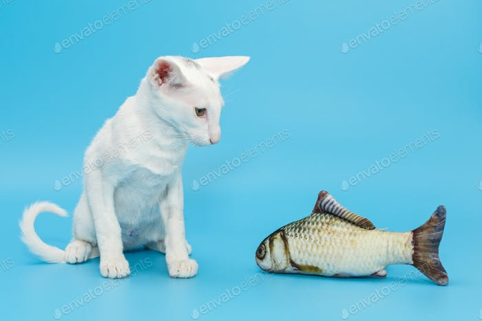 Oriental kitten of white color with a toy