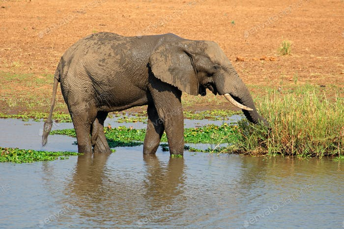 African elephant in river