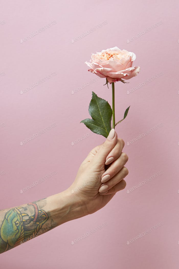 Woman's hand with tattoo holds a pink rose on a pink background with copy space. Postcard layout