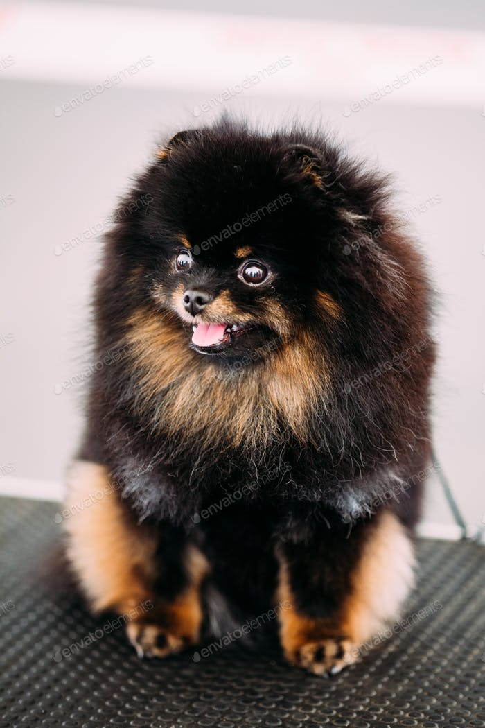 Black Smiling Pomeranian Spitz Small Dog