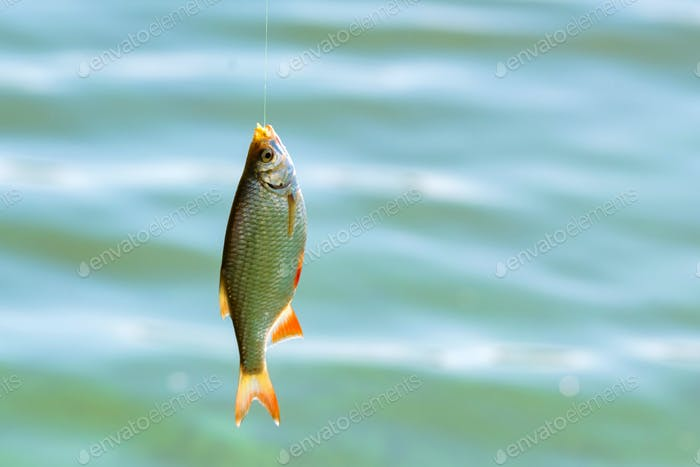 Close up single common rudd fish on hook. Fishing concept