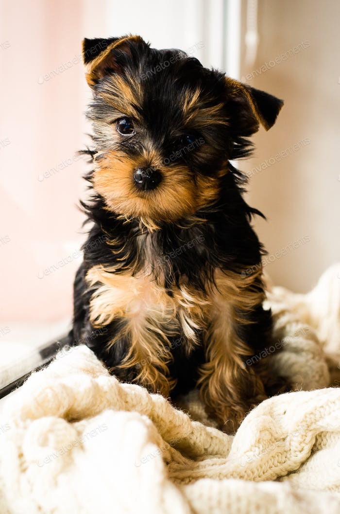 Yorkshire Terrier puppy sitting, 3 months old, on white knitted blanket