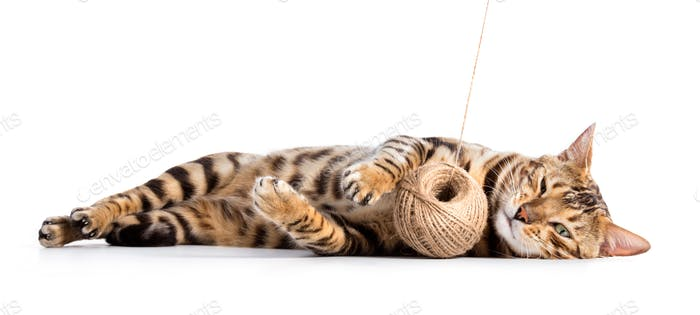 Bengal cat playing with cotton yarn. Isolated