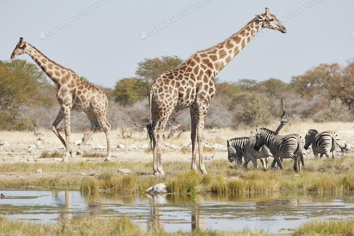 Angolan giraffes, Giraffa giraffa angolensis, and Burchell's zebra, Equus quagga burchellii,