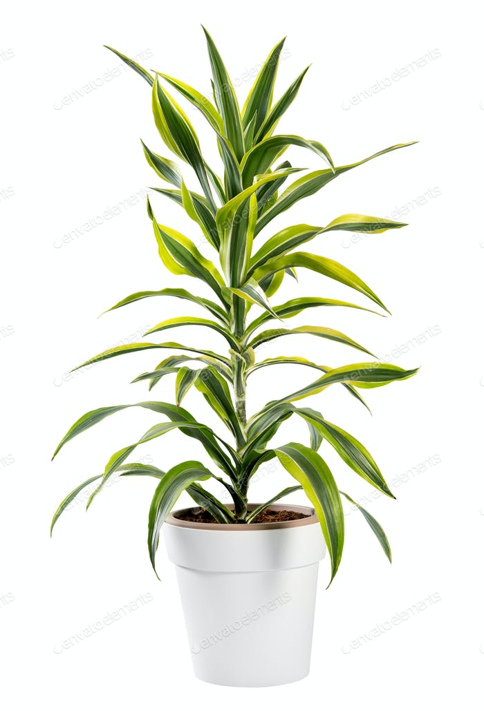 Isolated Dracaena potted plant in generic pot