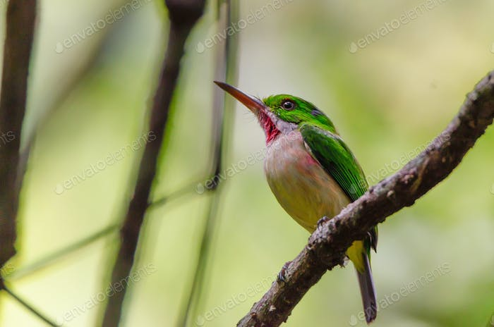 Broad-billed tody or Todus subbulatus perches on twig