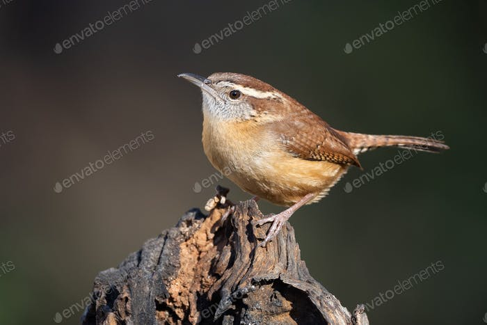 Carolina Wren Perched on a Stump