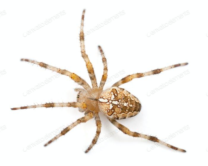 European garden spider, Araneus diadematus, in front of white background