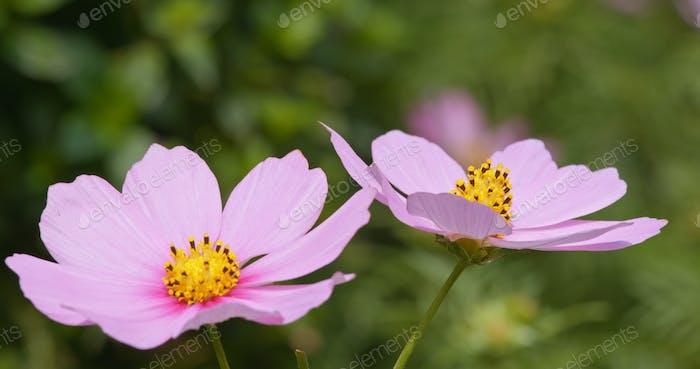 Purple cosmo flower