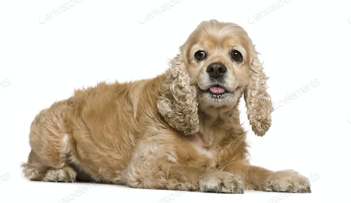 American Cocker Spaniel, 8 years old, lying in front of white background