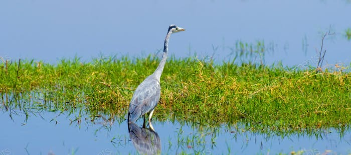 Close gray heron