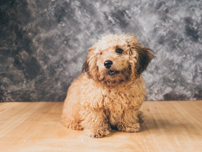 Small  poodle puppy on  grunge background.