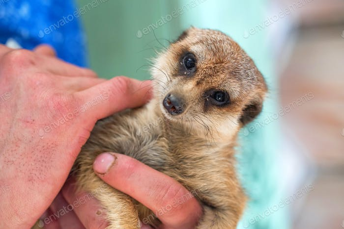 Portrait of domestic meerkat or Suricata suricatta in human hands