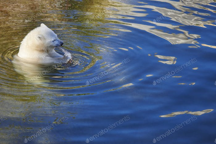 Polar bear cub eating on the water. Wildlife animal background. Horizontal