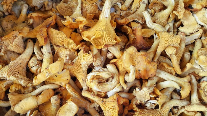 Edible Chanterelle mushrooms close-up
