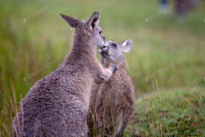 Eastern Grey Cangaroo Kissing