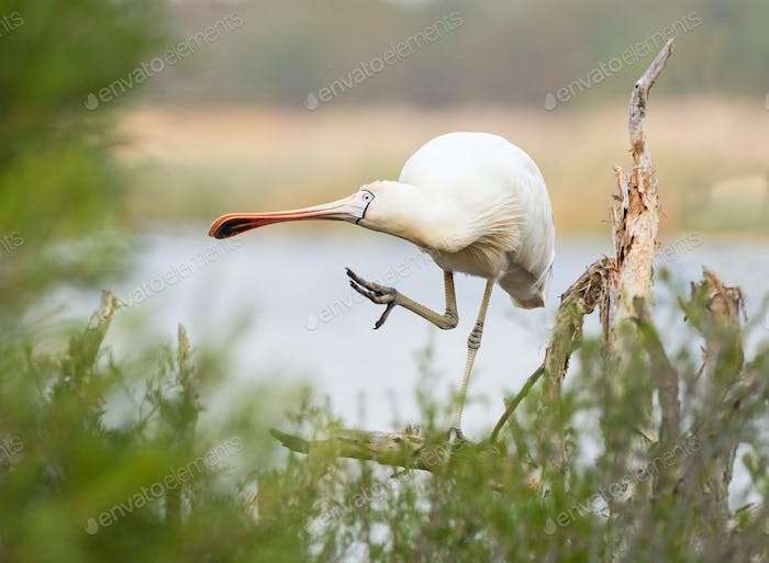 Yellow-Billed Spoonbill Preening