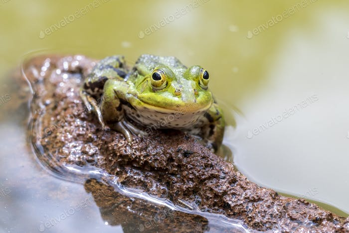 Pelophylax lessonae sitting on stone in green water