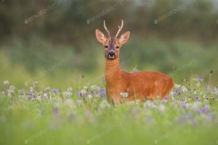 Roe deer buck in summer between flowers in nature