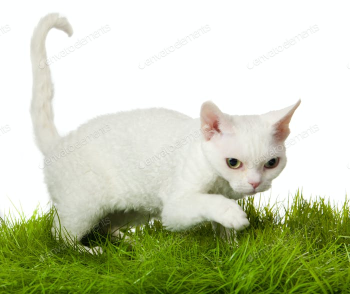 Devon Rex Katze im Gras. isolatet auf weiß.