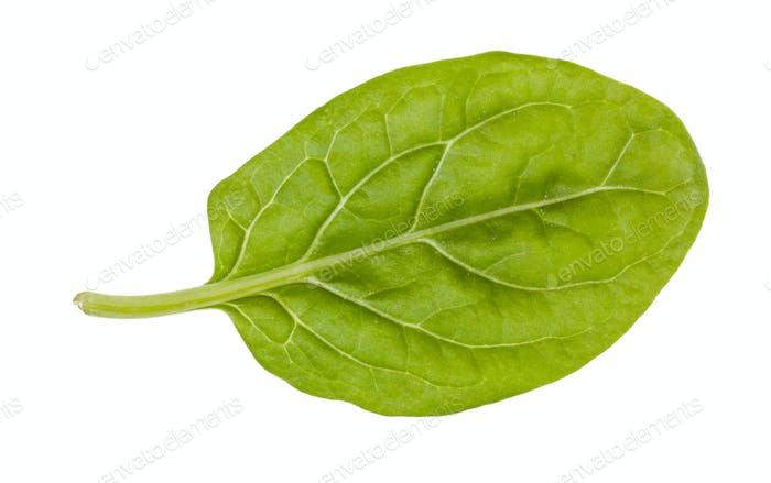 natürliches Blatt von Baby-Spinat isoliert auf weiß