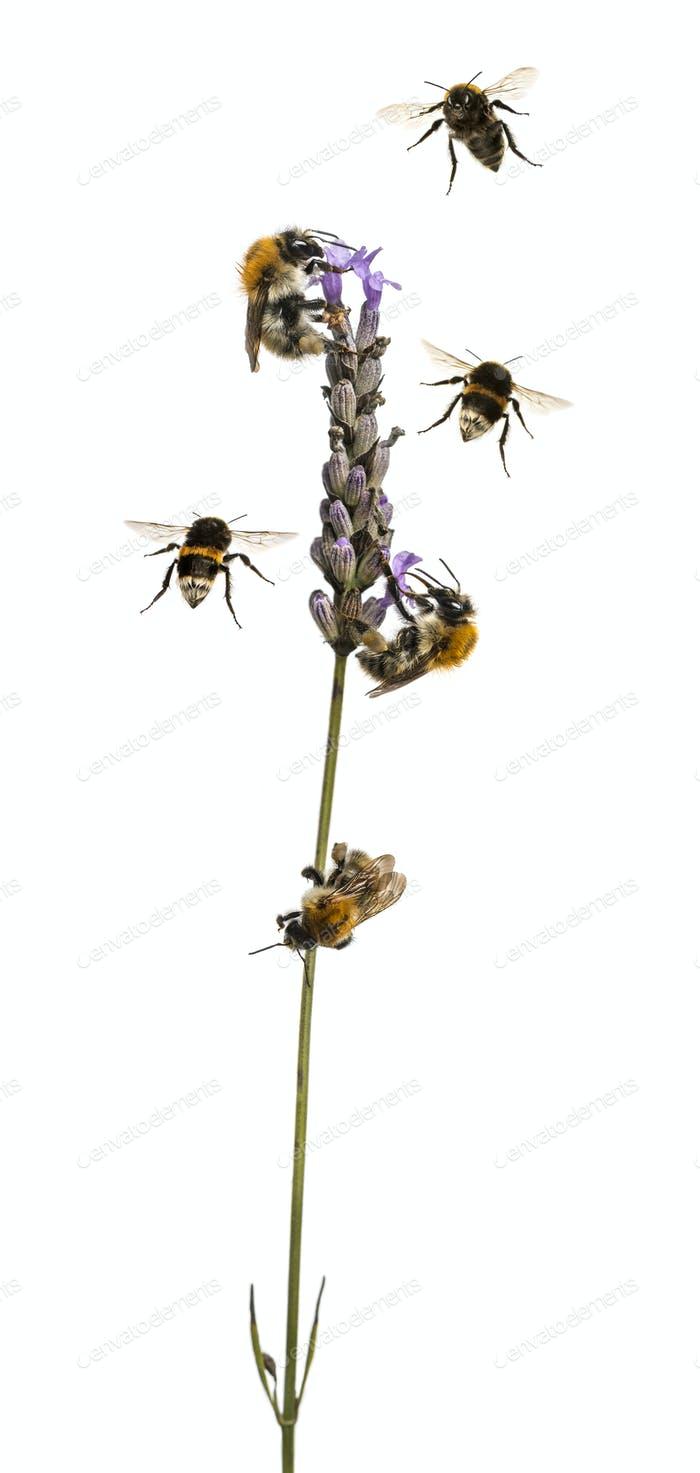 Group of Eurpoean bees and  buff-tailed bumblebee flying around a flowering plant, isolated on white