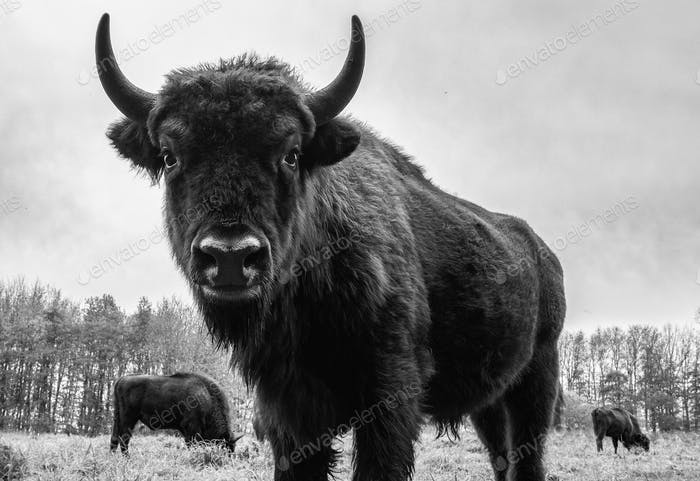 Bison close up looking in camera