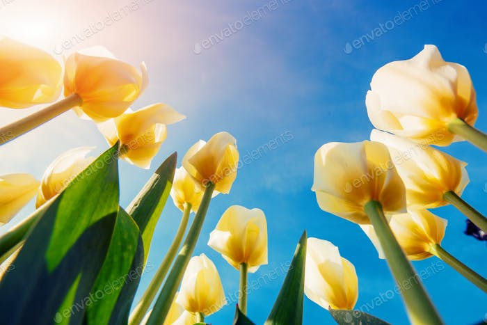 View of yellow tulip rows in summer