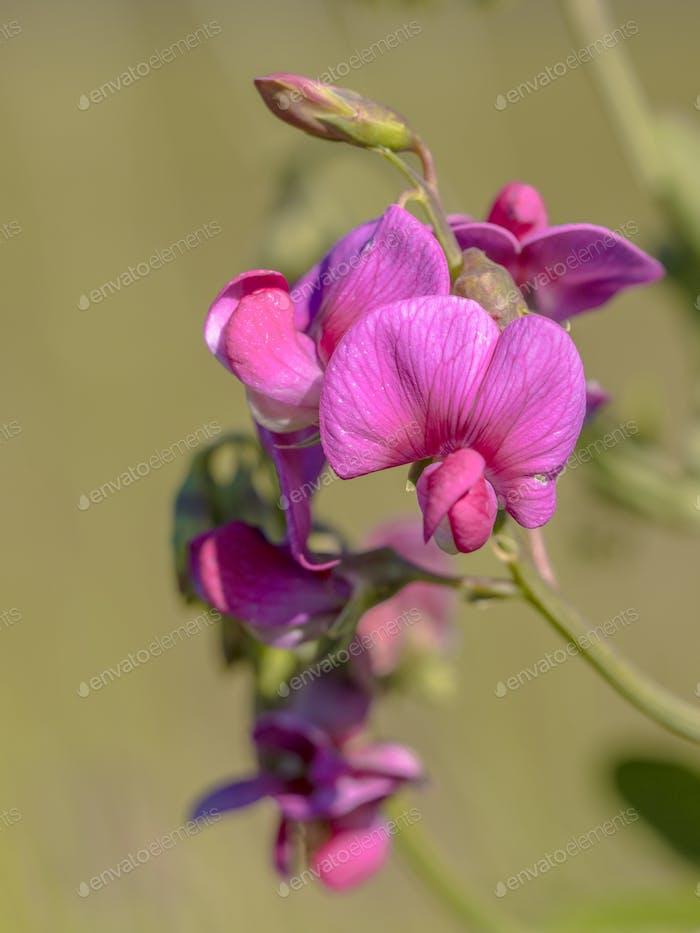 Pink flowers of tuberous pea
