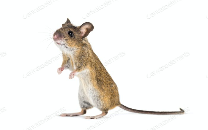 Eurasian mouse, Apodemus species, on hind legs in front of white background