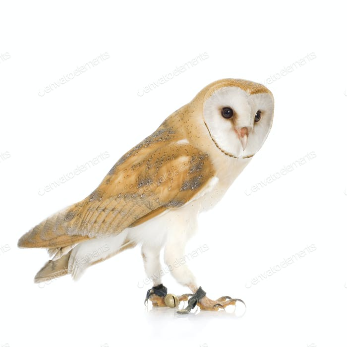 Common Barn Owl (4 mounths)
