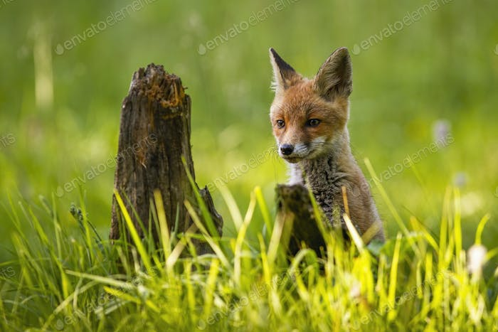 Appealing red fox cub peeking from tall green grass on a green spring meadow