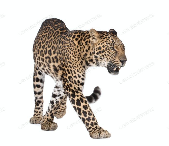 Portrait of leopard, Panthera pardus, walking, studio shot