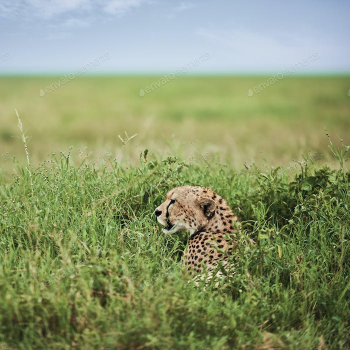 African cheetah in the grass