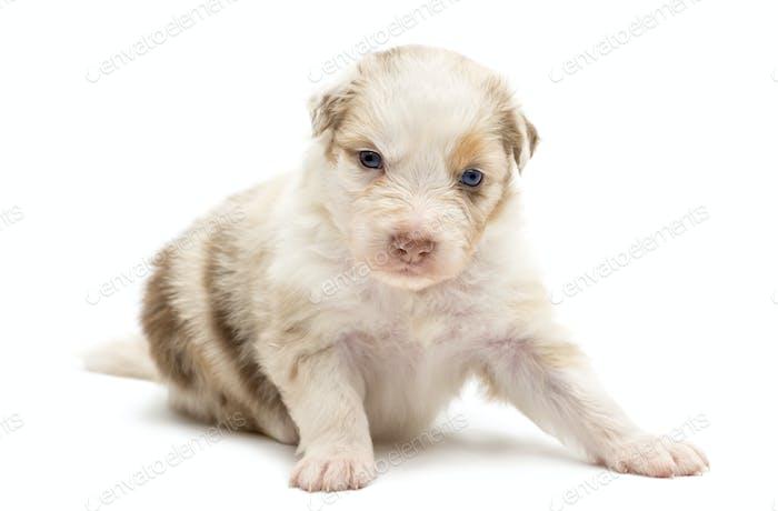 Australian Shepherd puppy, 22 days old, sitting and portrait against white background