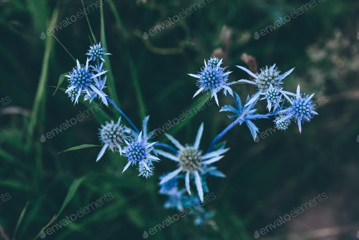 Flowers of blue eryngium