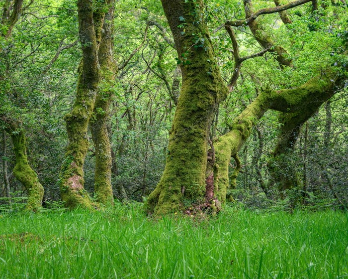 Mighty Twisted Moss Covered Oaks