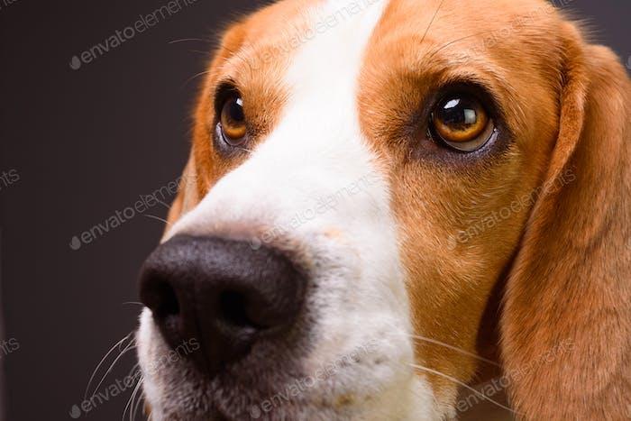 Beagle dog portrait. Isolated on a dark background