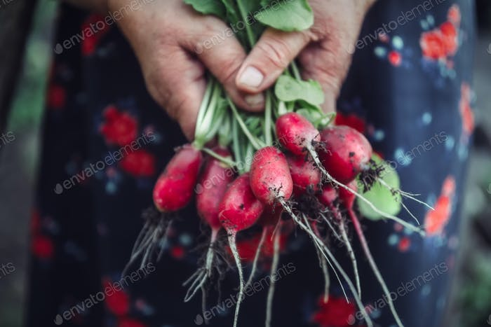 Red radish in hand while harvesting
