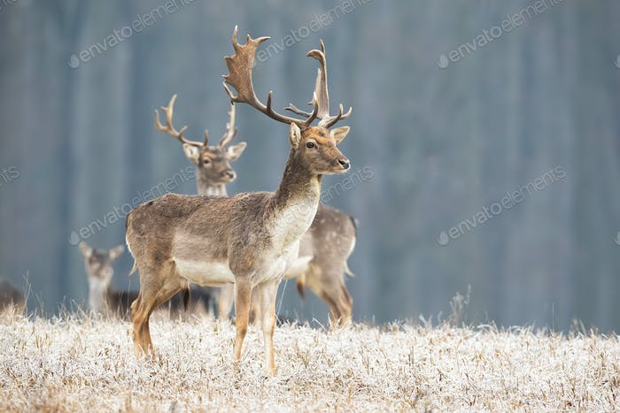Fallow deer stag standing on a meadow in freezing cold looking aside