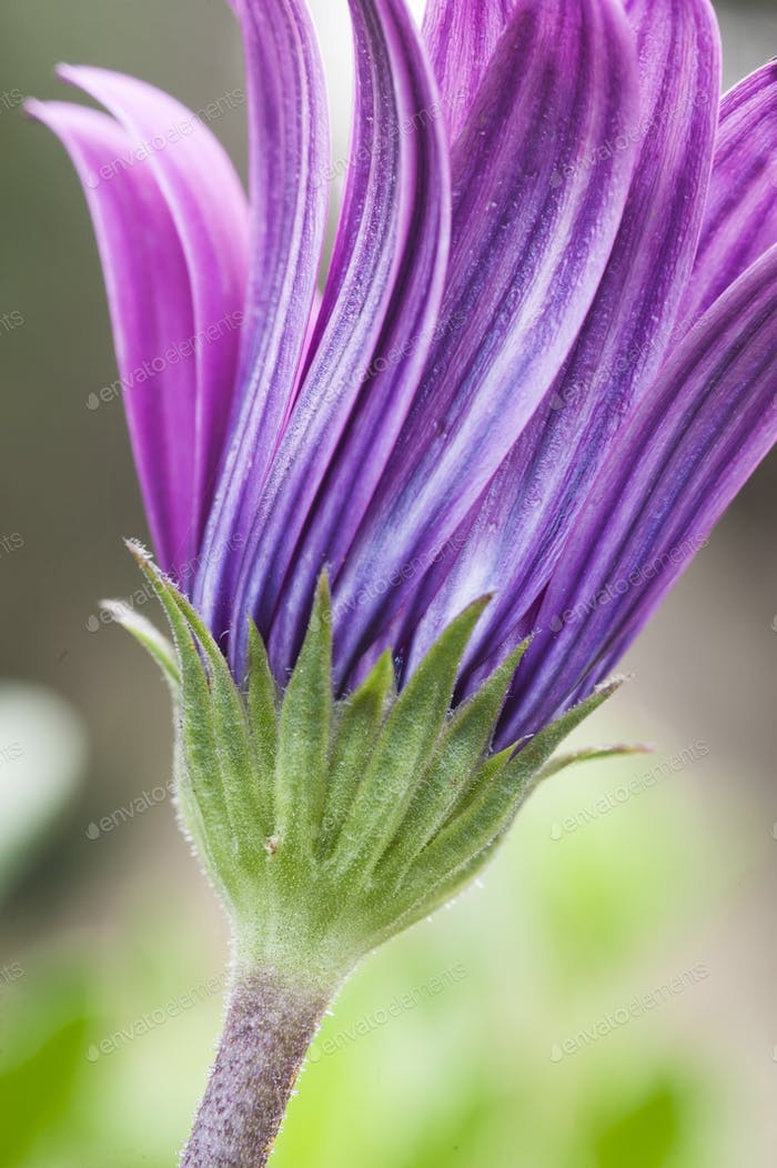 Pink sunflower daisy, Dimorphotheca, flower