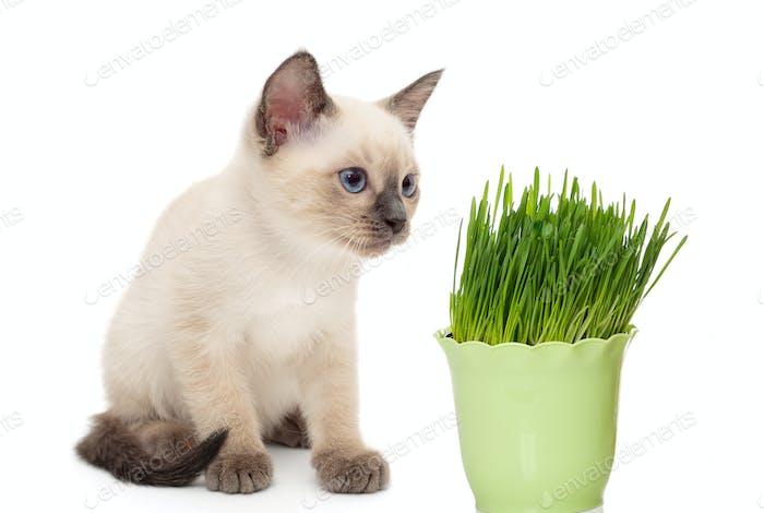 Kitten with a pot of green grass