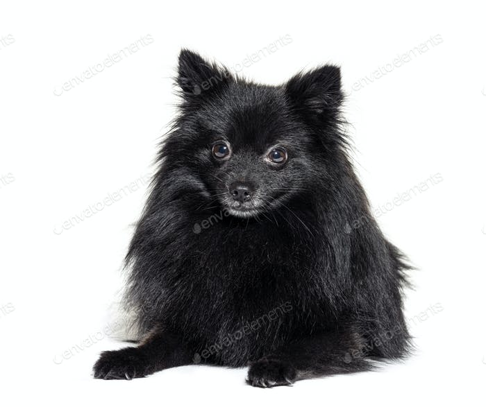 Black Pomeranian lying, isolated on white