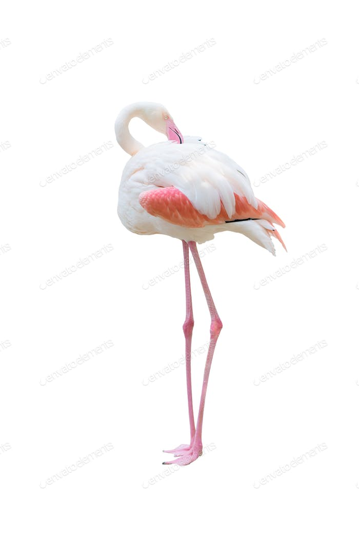 greater flamingo isolated on white background